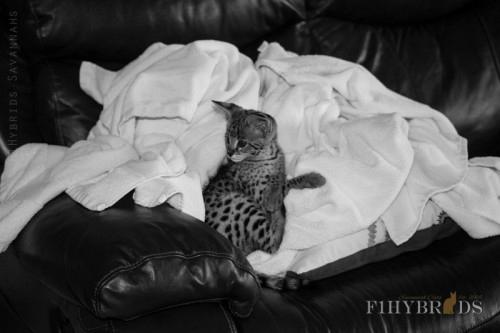 savannah-kittens-456.jpg