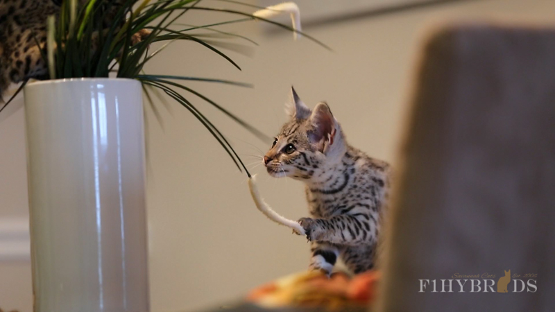 savannah-kittens-419.jpg