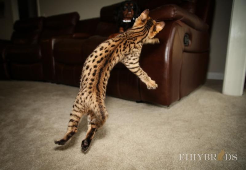 savannah-kittens-441.jpg