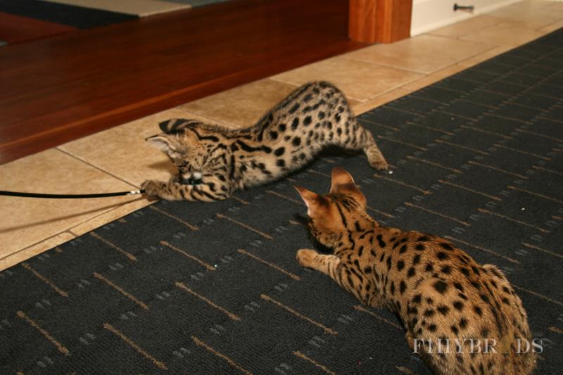 savannah-kittens-122.jpg
