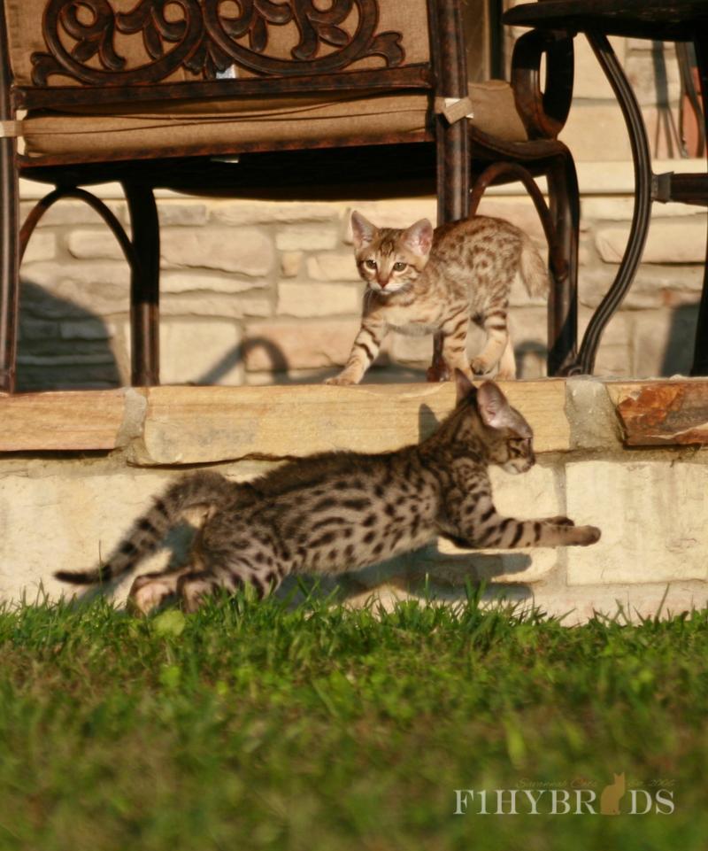 savannah-kittens-130.jpg