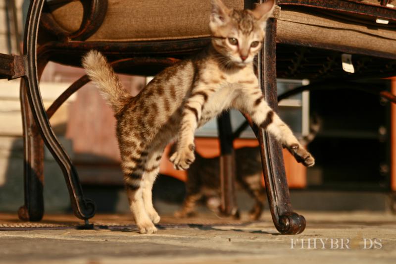 savannah-kittens-133.jpg
