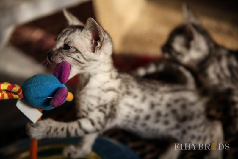 savannah-kittens-206.jpg