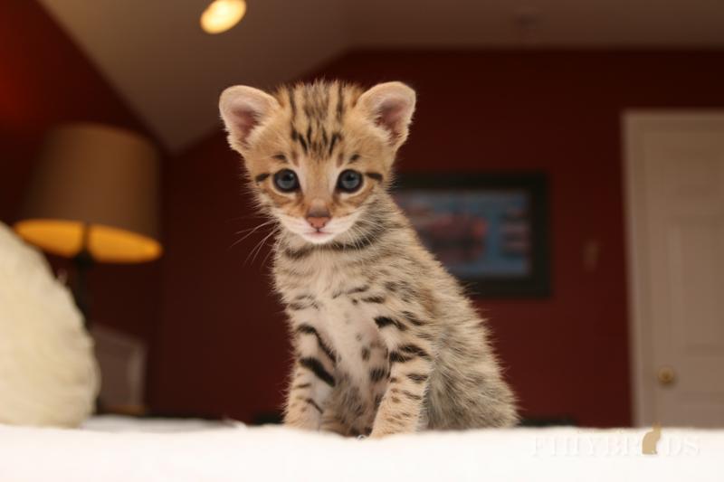 savannah-kittens-113.jpg