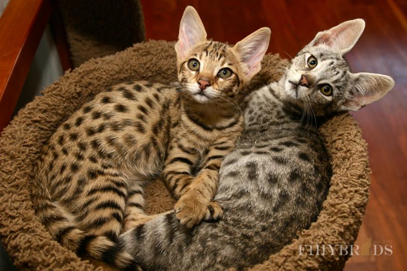 savannah-kittens-117.jpg