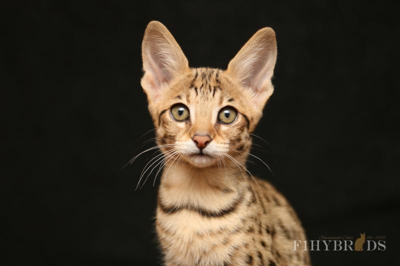 savannah-kittens-119.jpg