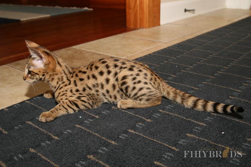 savannah-kittens-123.jpg