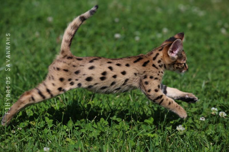spicy-f2-savannah-kitten-20.jpg