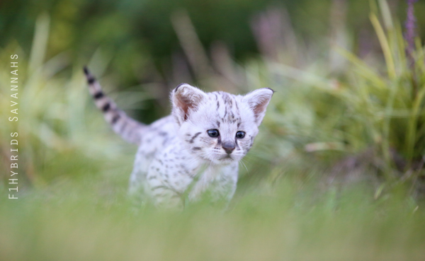 savannah-kittens-23.jpg