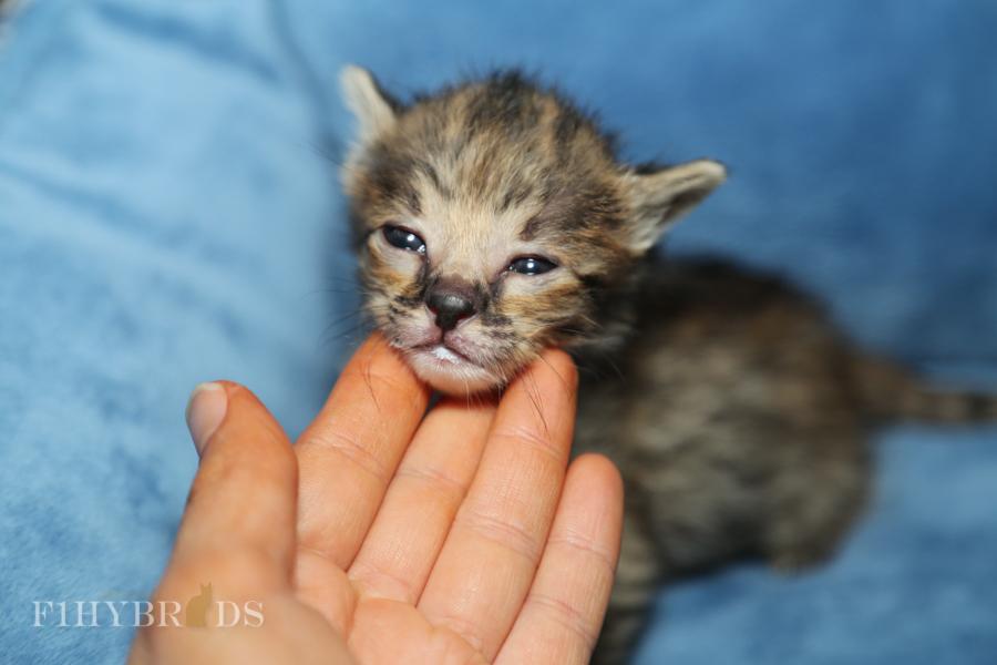 savannah-kittens-12.jpg
