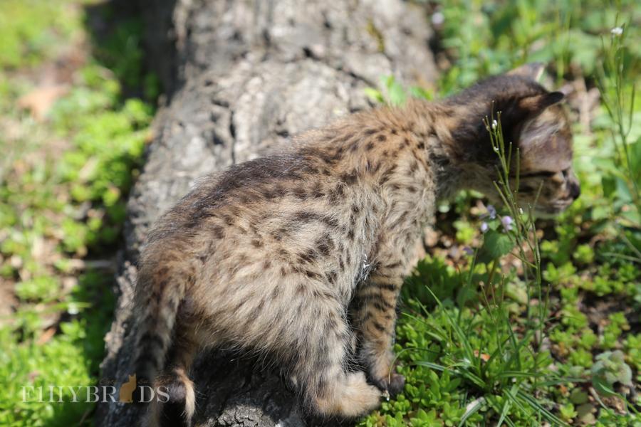 savannah-kittens-16.jpg
