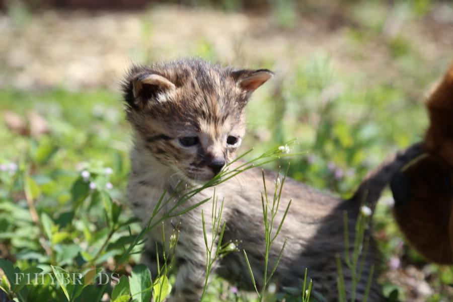 savannah-kittens-17.jpg