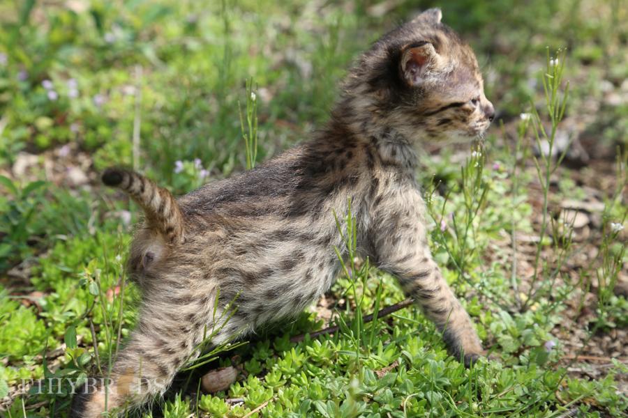 savannah-kittens-18.jpg