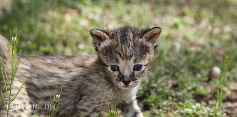 savannah-kittens-19.jpg