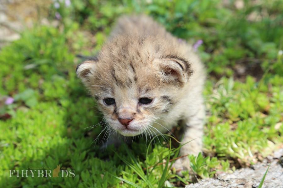 savannah-kittens-13.jpg