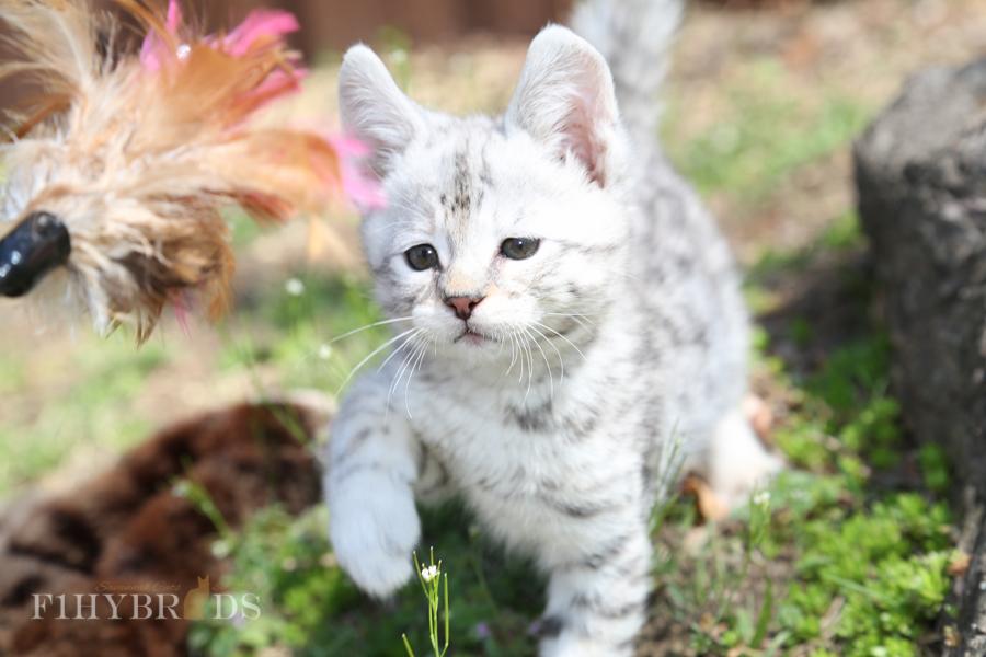 savannah-kittens-4.jpg