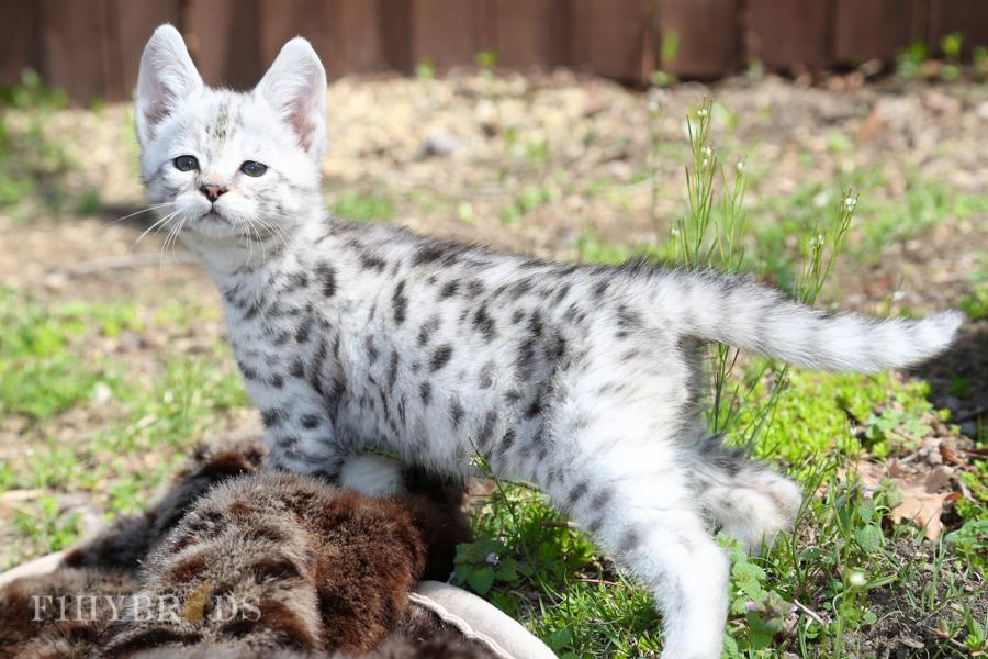 savannah-kittens-3.jpg