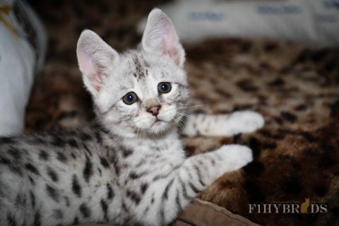 f2-savannah-cat-7.jpg