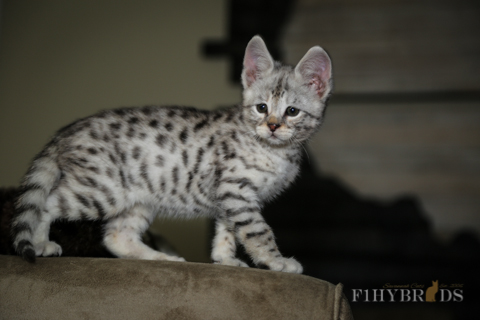 f2-savannah-cat-9.jpg