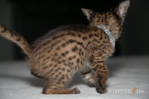 f2-savannah-kitten-27.jpg