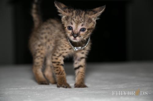 f2-savannah-kitten-29.jpg