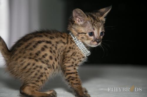 f2-savannah-kitten-31.jpg