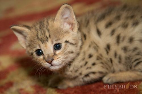 f2-savannah-kitten-12.jpg