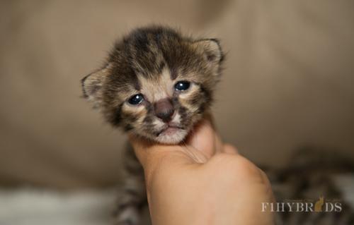 f2-savannah-kitten-21.jpg