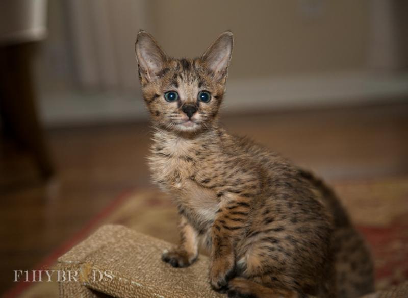 f2-savannah-kitten-36.jpg