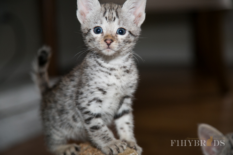 f2-savannah-kitten-6.jpg