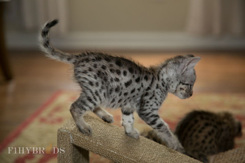 f2-savannah-kitten.jpg