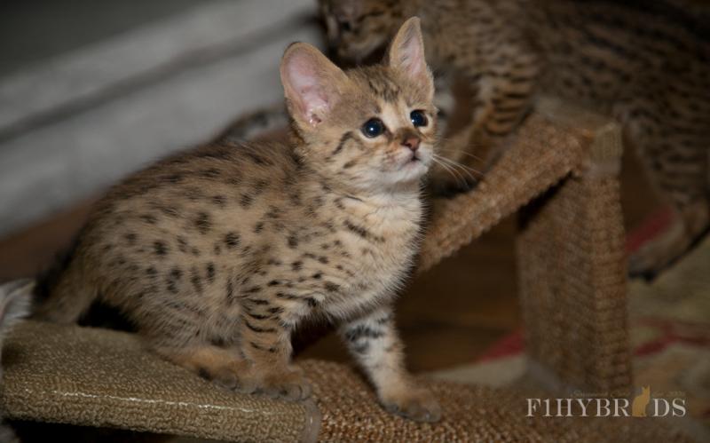 f2-savannah-kitten-4.jpg