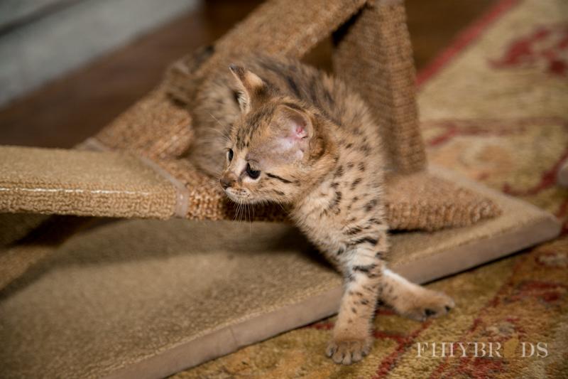 f2-savannah-kitten-10.jpg
