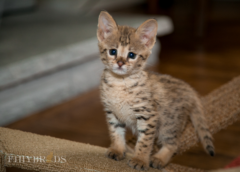 f2-savannah-kitten-11.jpg