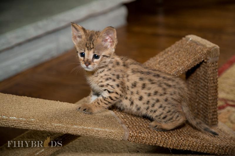 f2-savannah-kitten-13.jpg