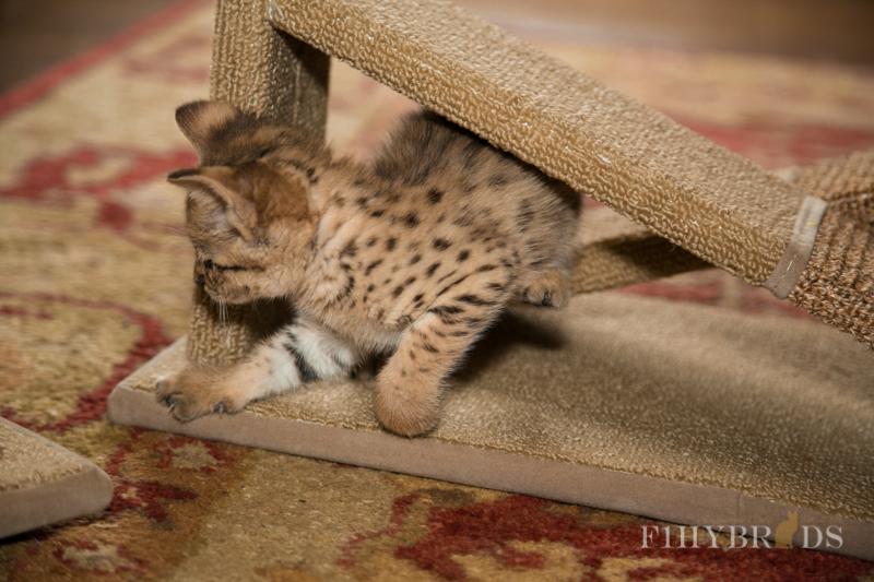 f2-savannah-kitten-19.jpg