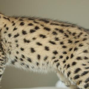 savannah-cats-eyes-56.jpg