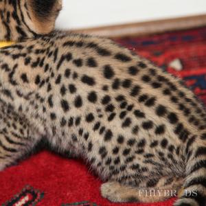 savannah-cats-diagram-f1hybrids-45.jpg