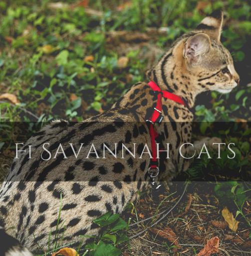 F1 Savannah Cat Pictures