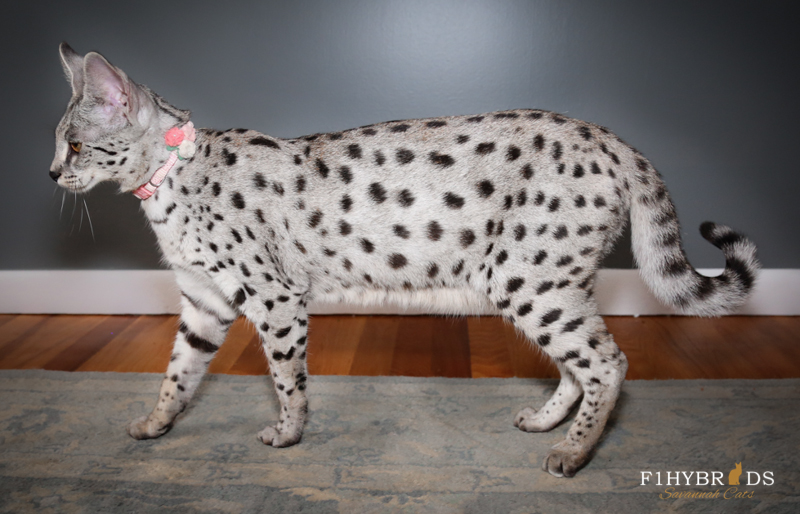 F1 Savannah Cat Silver Color