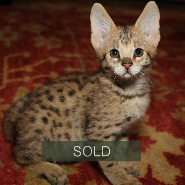 F2 Savannah Kitten Balto