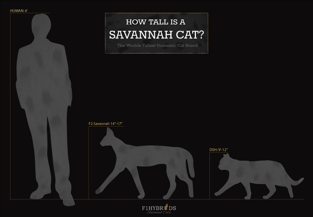 Savannah Cat Size Diagram