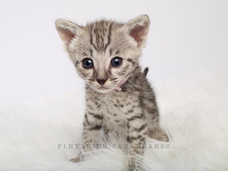 F1hybrids Savannah Cats - March 29, 2016-42.jpg