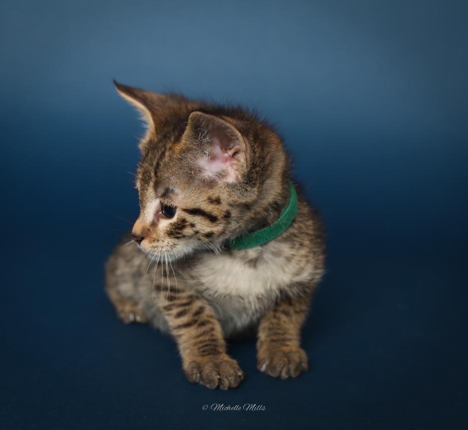 F1hybrids Savannah Cats - April 15, 2016-16.jpg