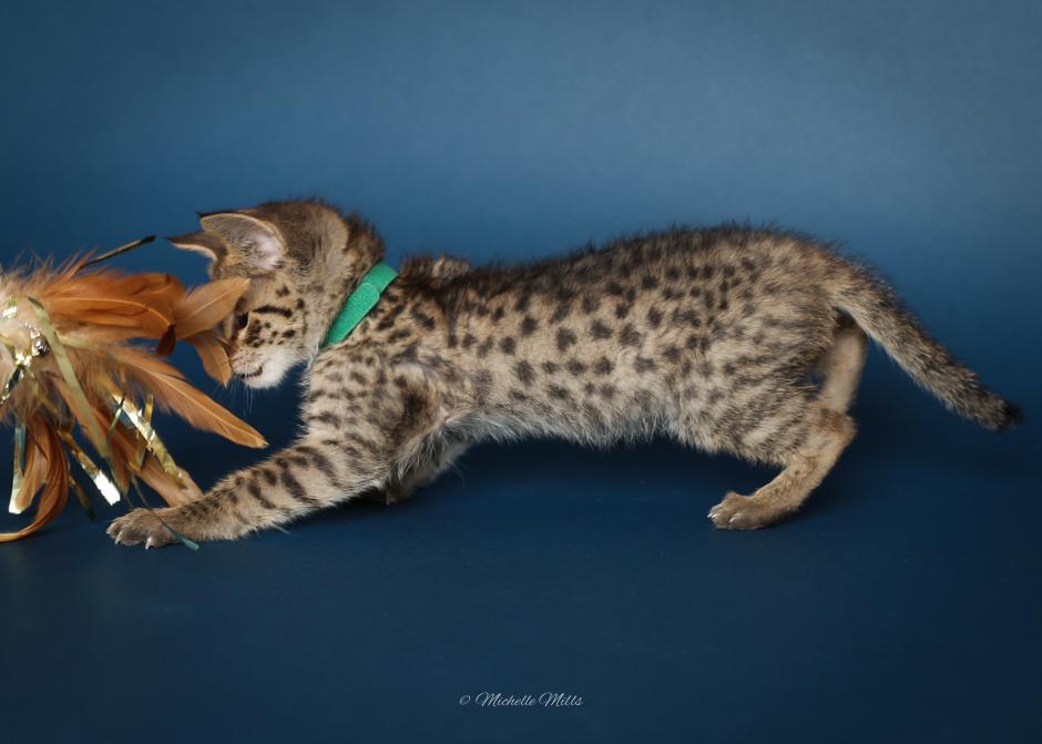 F1hybrids Savannah Cats - April 15, 2016-20.jpg