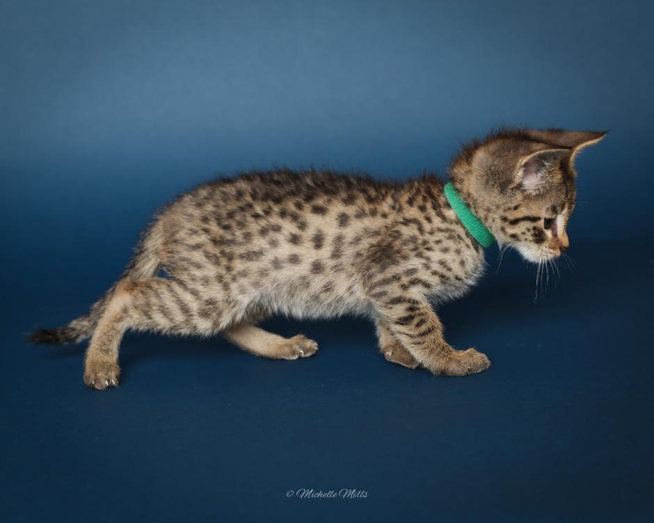 F1hybrids Savannah Cats - April 15, 2016-21.jpg