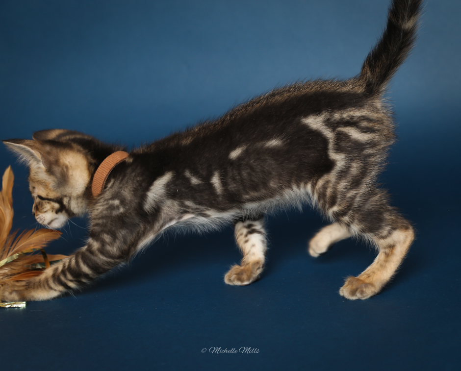 F1hybrids Savannah Cats - April 15, 2016-38.jpg