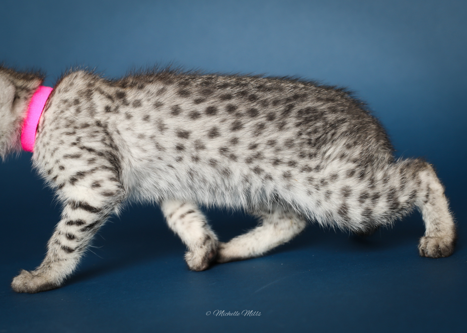 F1hybrids Savannah Cats - April 15, 2016-23.jpg
