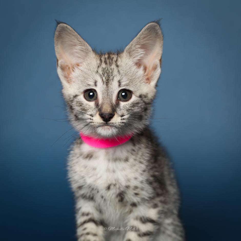 F1hybrids Savannah Cats - April 15, 2016-25.jpg