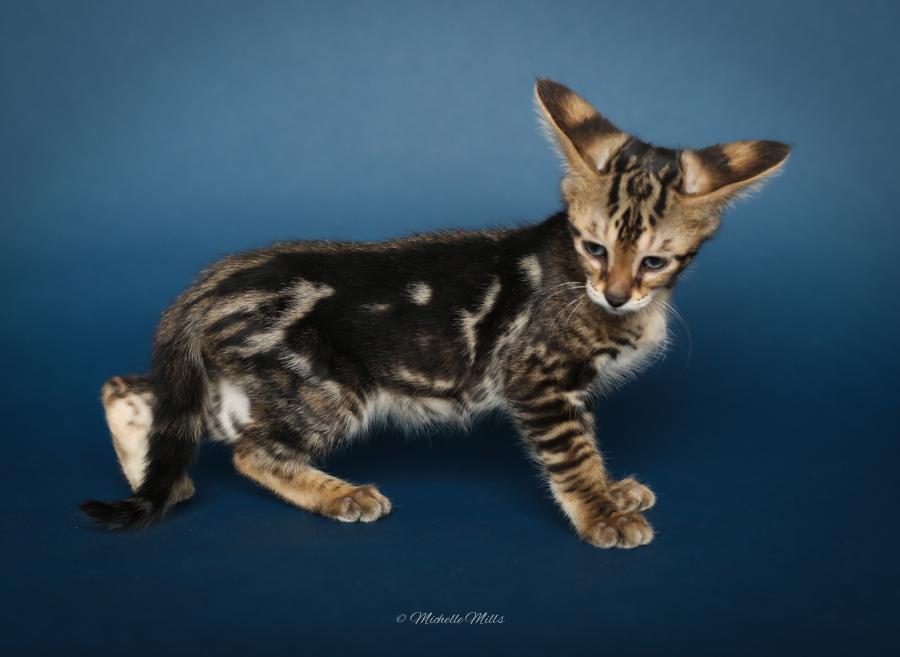 F1hybrids Savannah Cats - April 29, 2016-17.jpg